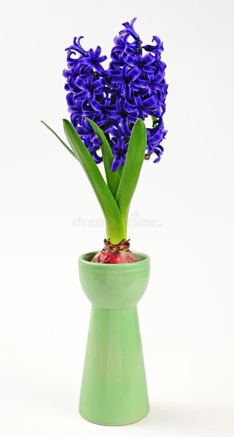 Giacinto della primavera in vetro del giacinto fotografia stock libera da diritti