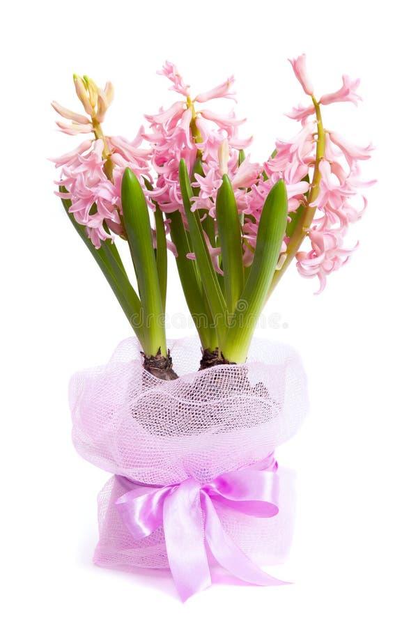 Giacinto di fioritura imballato per il regalo immagine stock