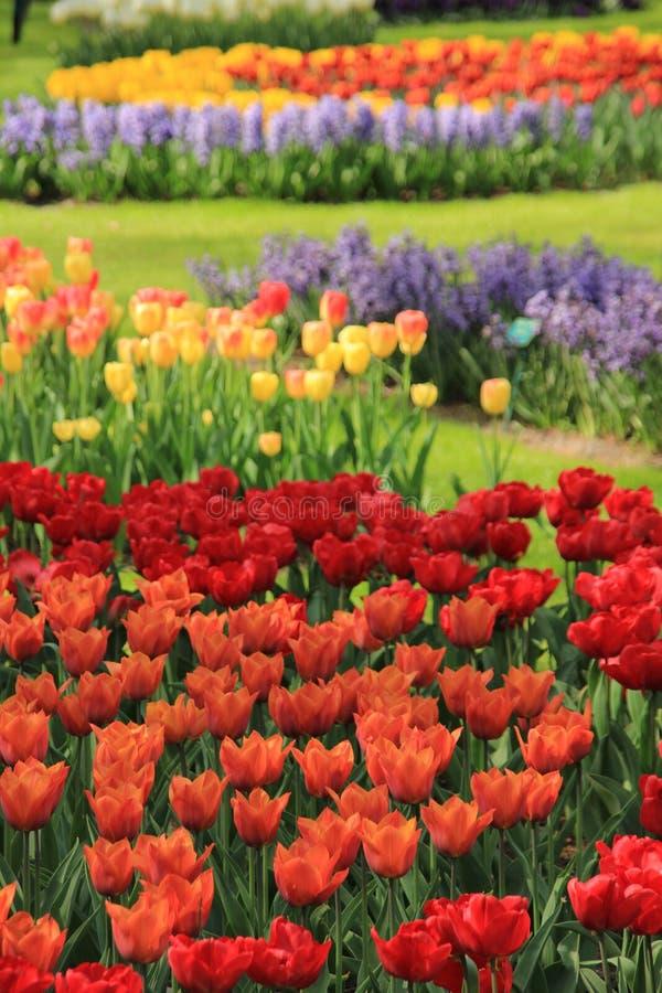 Giacinto e tulipani di fioritura in giardino floreale Keukenhof in primavera immagine stock