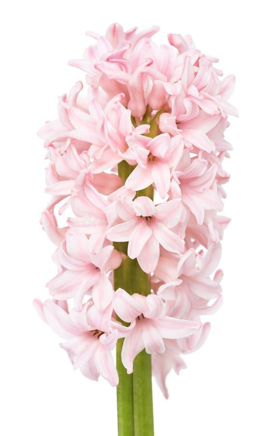 Giacinto rosa molle fotografia stock