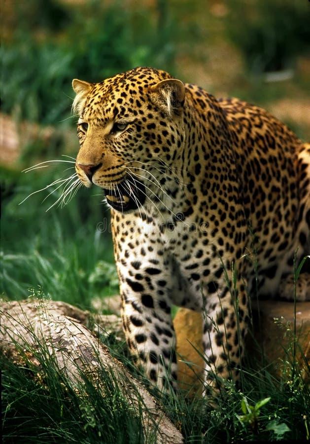 Giaguaro fotografie stock libere da diritti