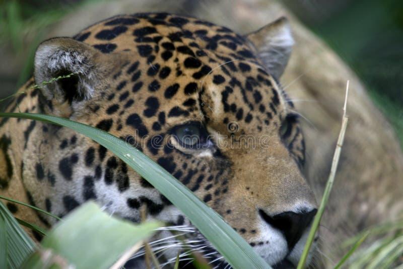 Giaguaro fotografie stock