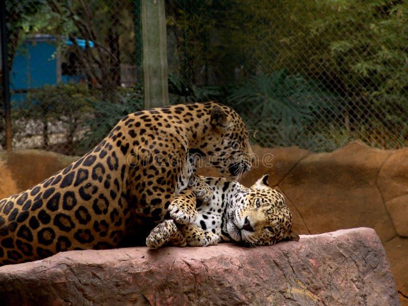 Download Giaguaro immagine stock. Immagine di jaguar, zoologico - 218283