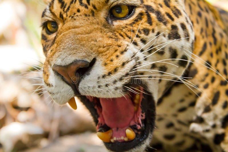 Giaguaro di urlo fotografia stock
