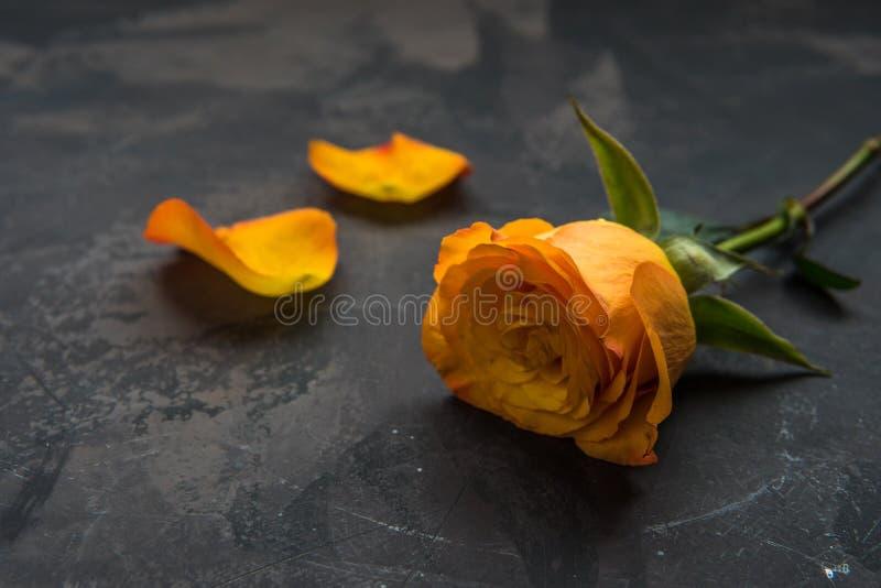 Giallo arancione è aumentato su un fondo scuro immagini stock libere da diritti
