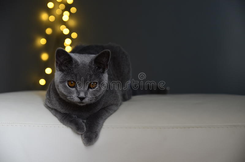 Giallo britannico di bianco grigio del gatto fotografie stock libere da diritti