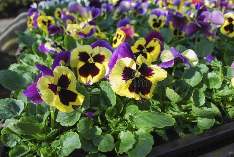 Giallo con i fiori viola di viole del pensiero fotografie stock