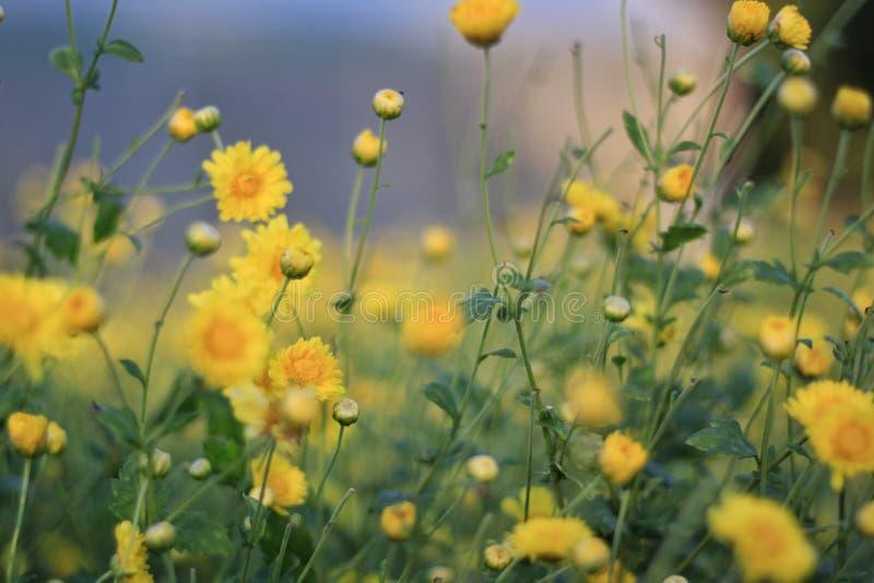 Giallo dei fiori immagini stock