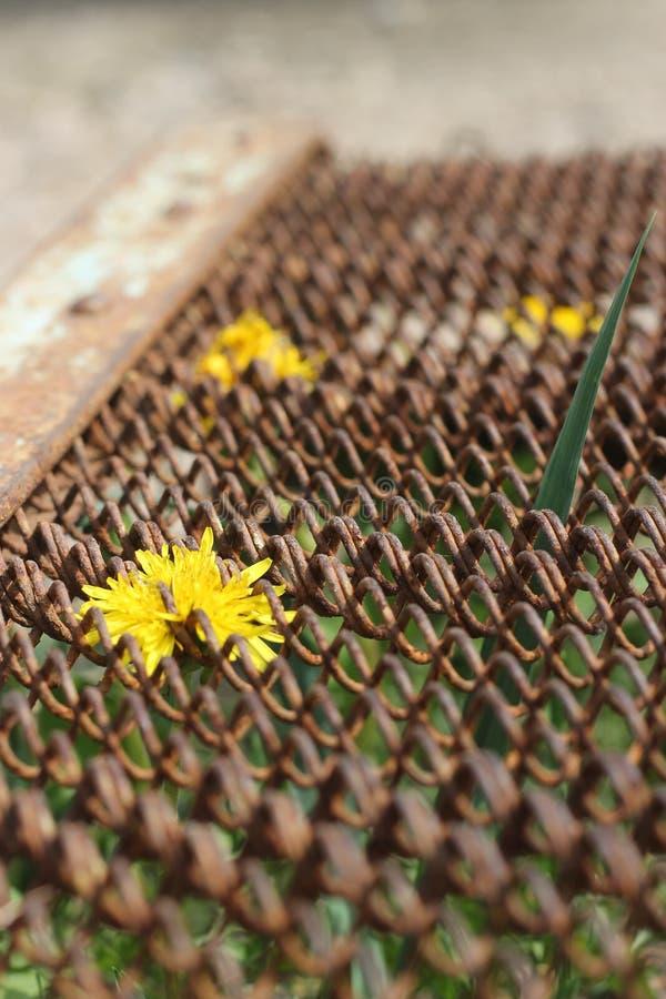 Giallo del fiore della camomilla attraverso la griglia del letto del metallo fotografia stock libera da diritti