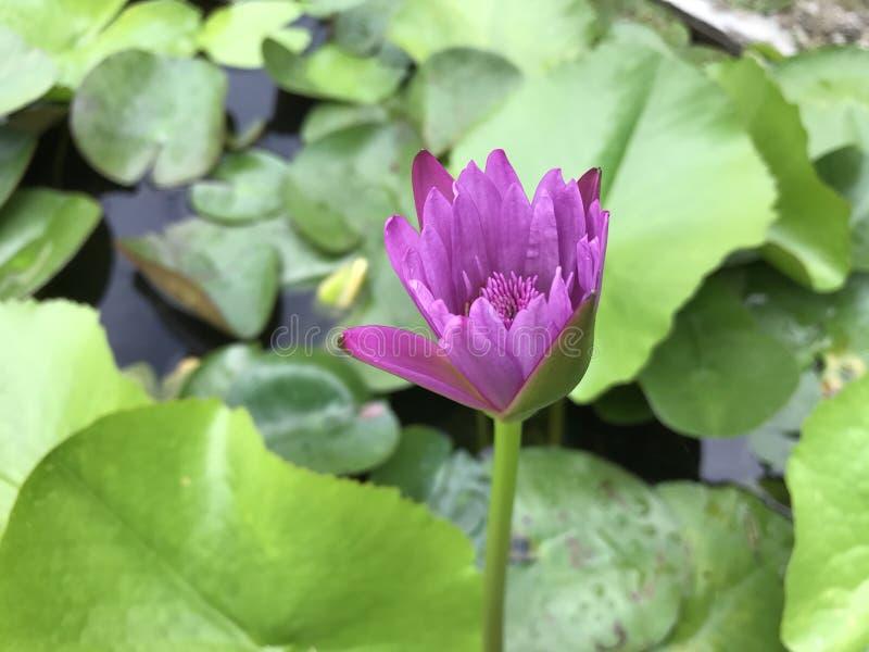 Giallo del loto del fiore fotografie stock