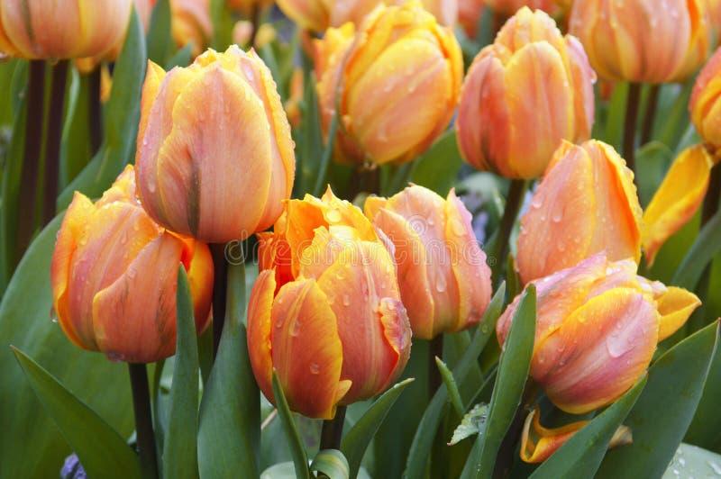 Giallo del tulipano fotografia stock