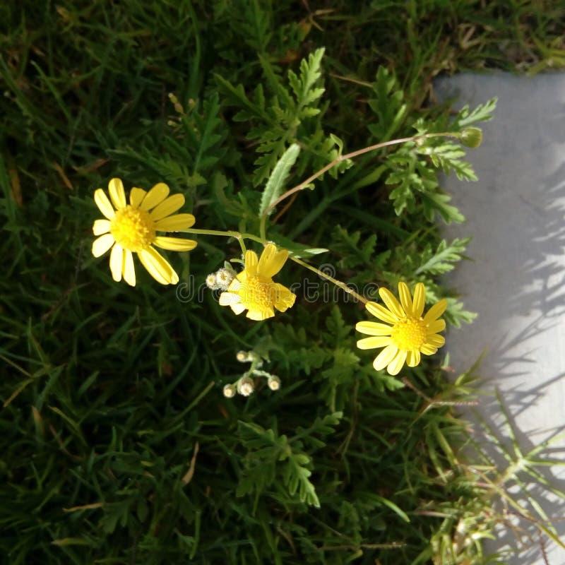 Giallo di Amarillas del fiore del Flores fotografia stock libera da diritti