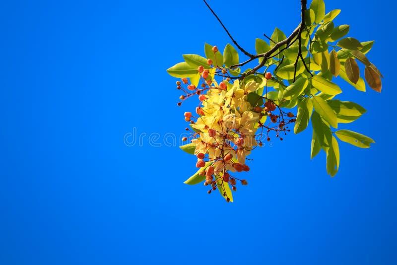 Giallo dorato del fiore della doccia, cassia fistula sull'albero con il fiore nel fondo del cielo blu immagine stock libera da diritti