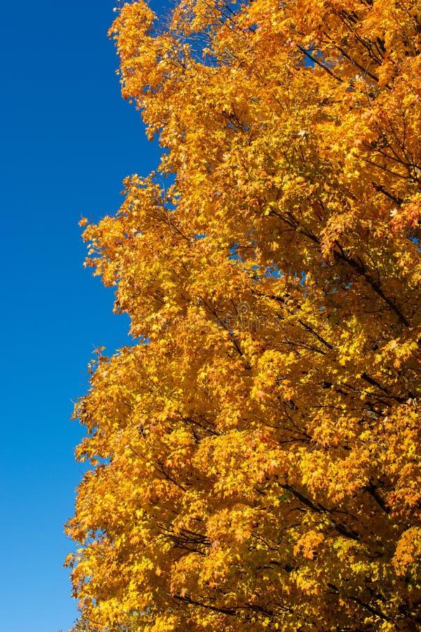 Giallo e foglie dell'arancio con cielo blu verticale immagini stock