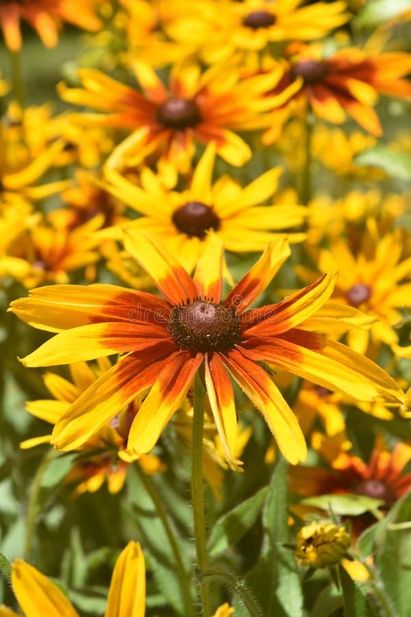 Giallo e margherite gialle adorabili di Brown fotografia stock