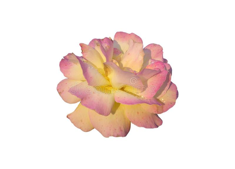 Giallo-rosa è aumentato fotografia stock