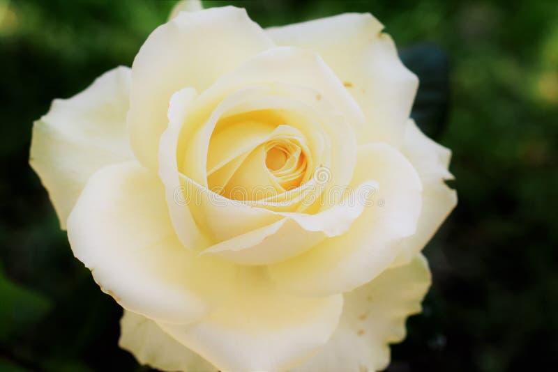 Giallo Rose Flower Blossom di Himachal di estati immagini stock