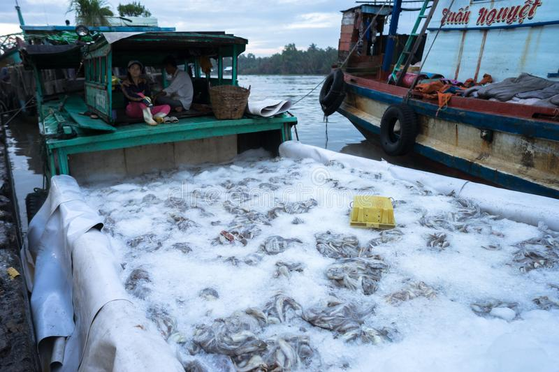 An Giang, Vietnam - Dec 6, 2016: Caught fishes preserverd by ice in Tac Cau fishing port at dawn, Me Kong delta province of Kien G. Iang, south of Vietnam royalty free stock photos