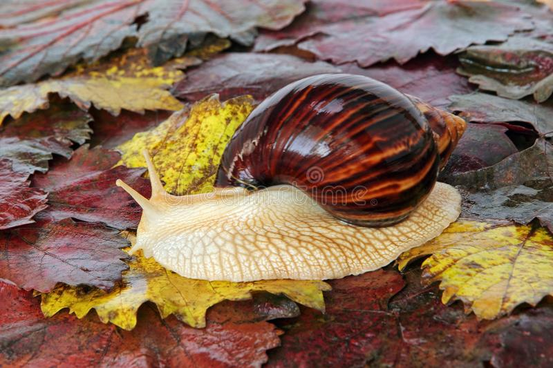 Giant african Achatina snail on colorful autumn grape leaf. royalty free stock photography