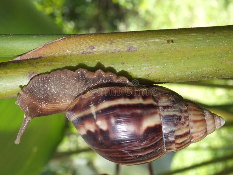 Download Giant African Snail stock photo. Image of gastropod, nature - 26537774