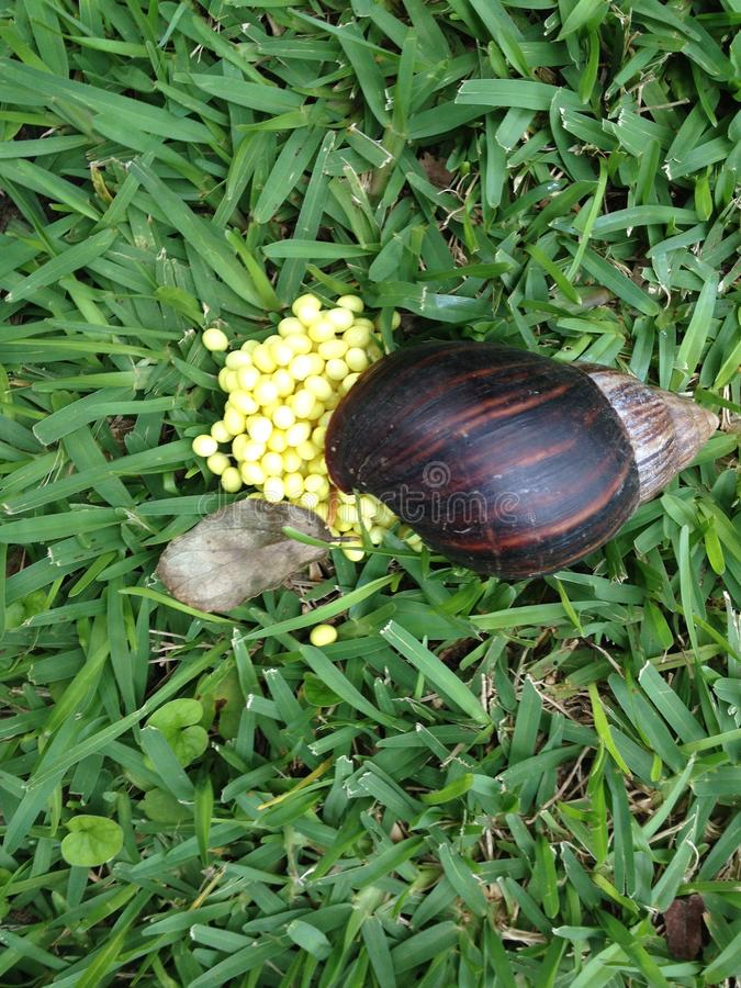 Giant African Snail laying eggs. Giant African Snail or Achatina fulica laying yellow eggs in grass.  It shares the common name `giant African snail` with other royalty free stock image