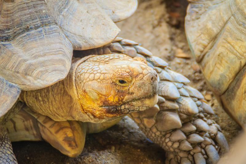Giant African spurred tortoise (Centrochelys sulcata), also call. Ed the sulcata tortoise, is a species of tortoise, which inhabits the southern edge of the stock image