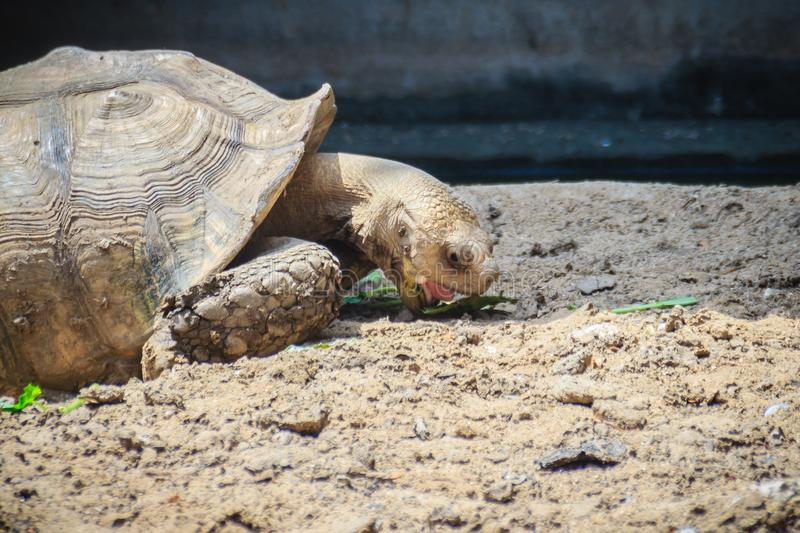 Giant African spurred tortoise (Centrochelys sulcata) is eating. Food, also called the sulcata tortoise. It is a species of tortoise, which inhabits the stock photo