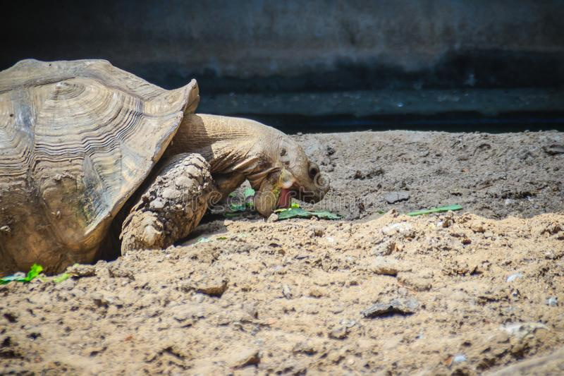 Giant African spurred tortoise (Centrochelys sulcata) is eating. Food, also called the sulcata tortoise. It is a species of tortoise, which inhabits the royalty free stock images