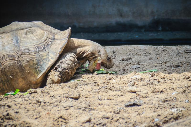 Giant African spurred tortoise (Centrochelys sulcata) is eating. Food, also called the sulcata tortoise. It is a species of tortoise, which inhabits the royalty free stock photography