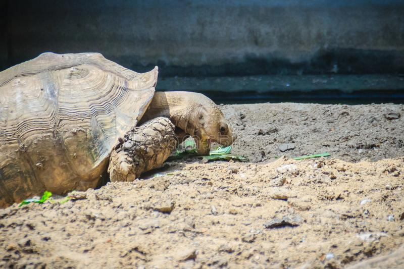 Giant African spurred tortoise (Centrochelys sulcata) is eating. Food, also called the sulcata tortoise. It is a species of tortoise, which inhabits the stock photography