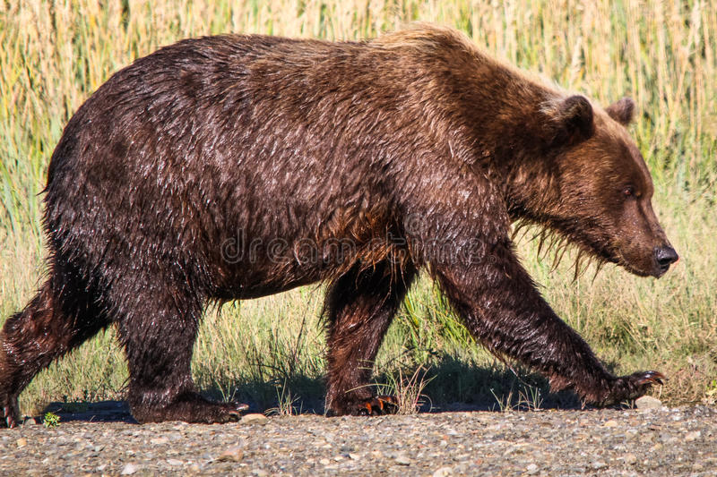Giant Alaska Brown Grizzly Bear Lake Clark National Park stock photo
