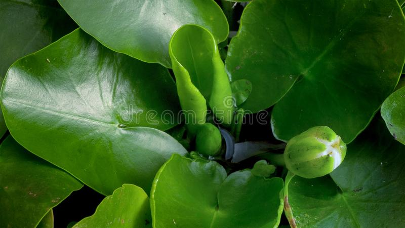 The giant Amazon water lily is sprouting and the flower is blooming royalty free stock images