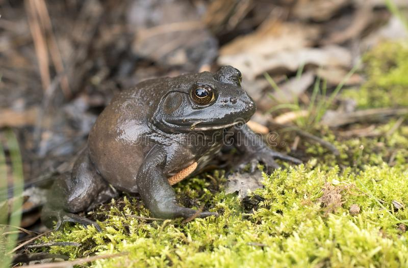 Giant American Bullfrog, Georgia royalty free stock images