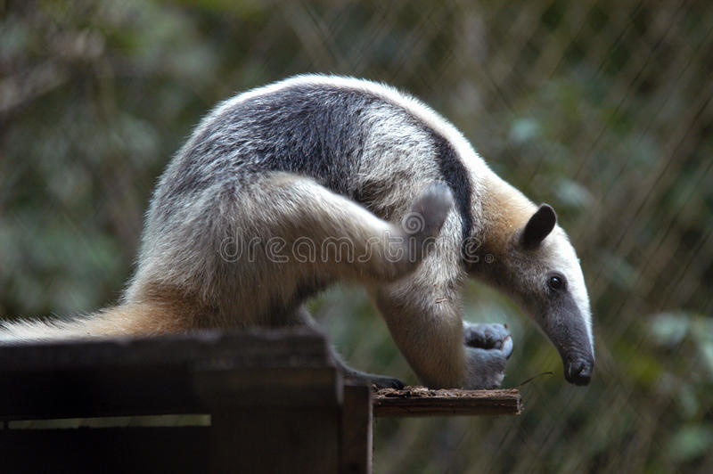 Download Giant Anteater stock image. Image of long, mammal, cute - 18622509