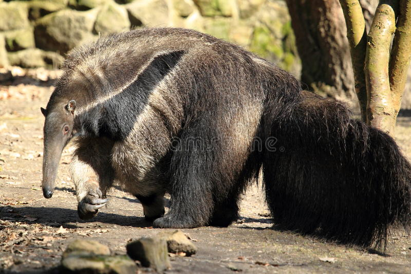 Download Giant anteater stock image. Image of animal, grass, nature - 23672665