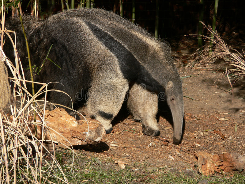 Download Giant Anteater stock image. Image of unique, aardvark - 3973341