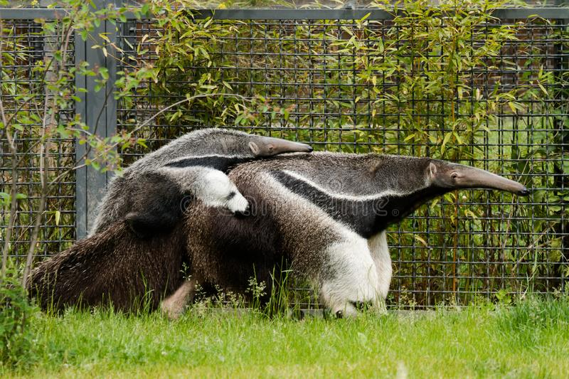 Giant anteater with a baby stock photos