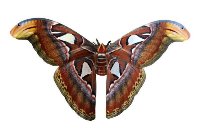 Giant Atlas Moth stock image