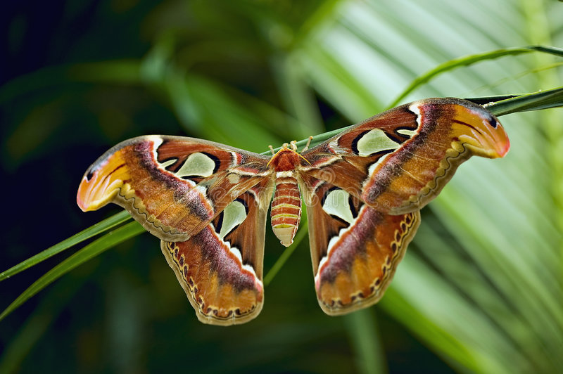 Download Giant Atlas Moth stock image. Image of colorful, beautiful - 6168701