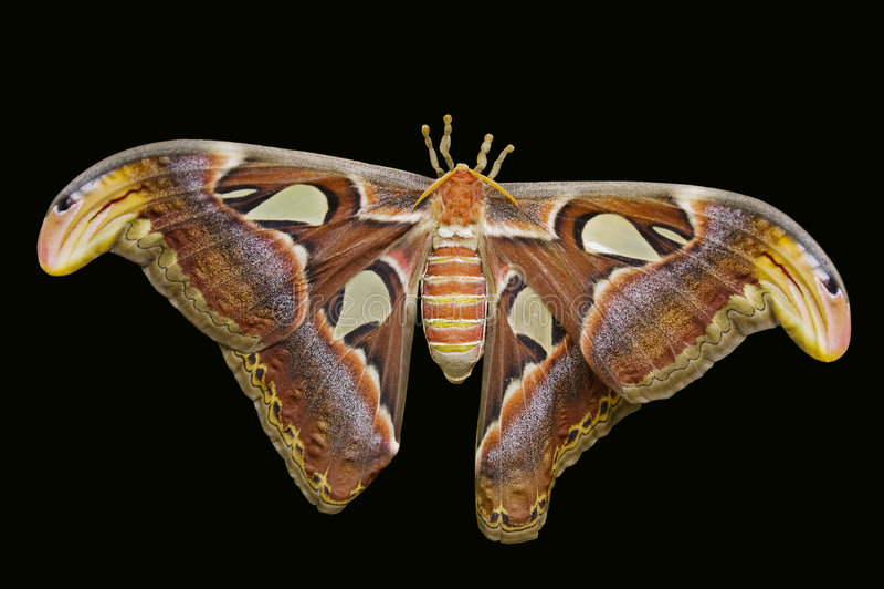 Download Giant Atlas Moth Royalty Free Stock Photo - Image: 7406585