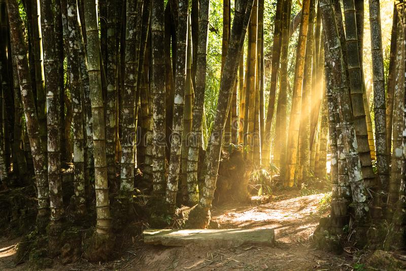 Giant bamboo forest. Sunlit path through a giant bamboo forest stock image