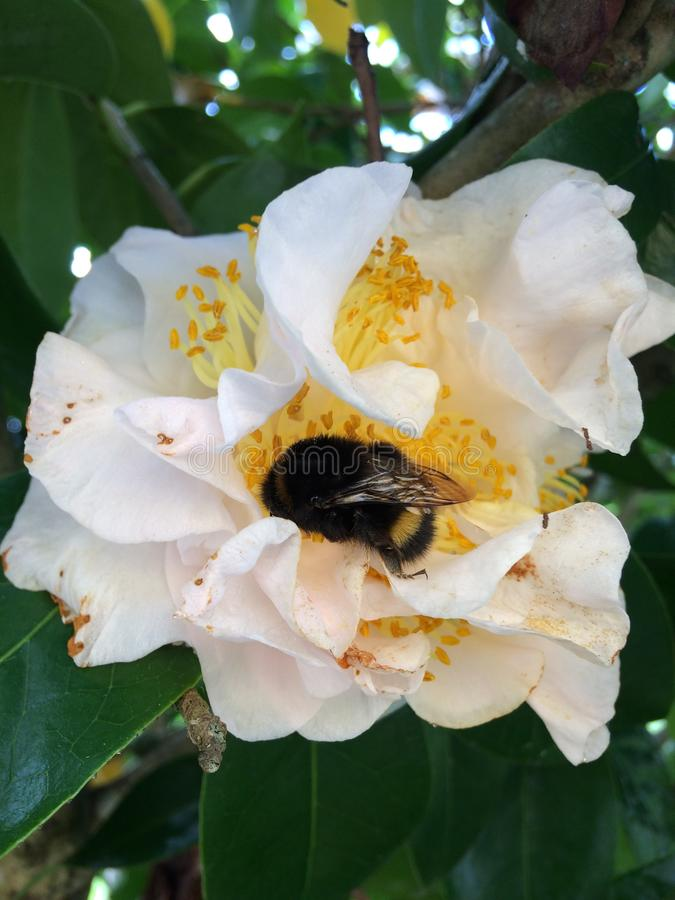 A giant bee on an evergreen rose Close-up stock images