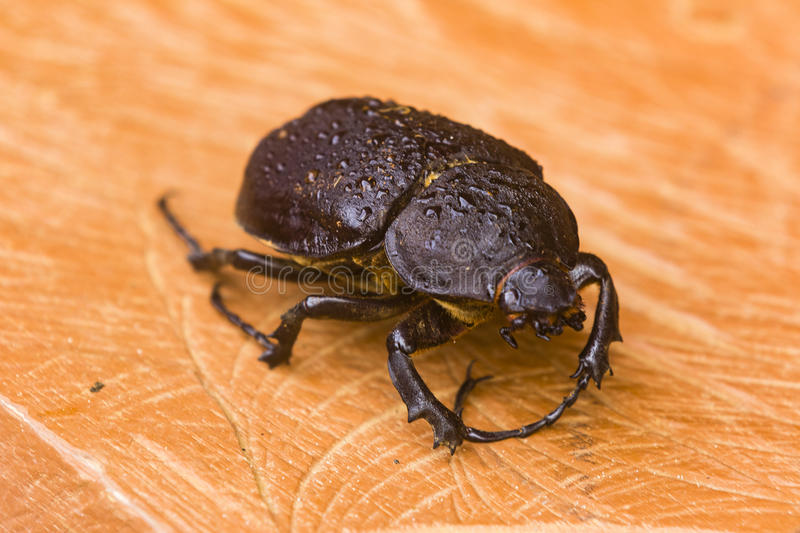 A giant beetle on a wooden plank royalty free stock photography
