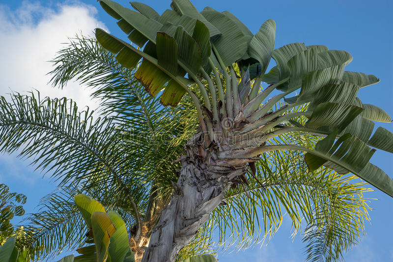 Giant Bird of Paradise royalty free stock images