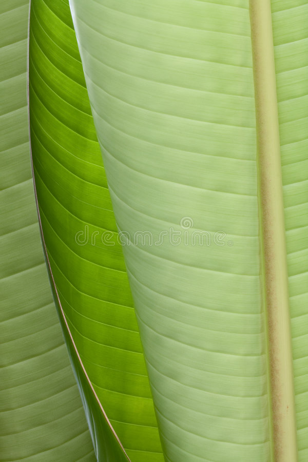 Giant bird of paradise leaves (Strelitzia nicolai) royalty free stock photography