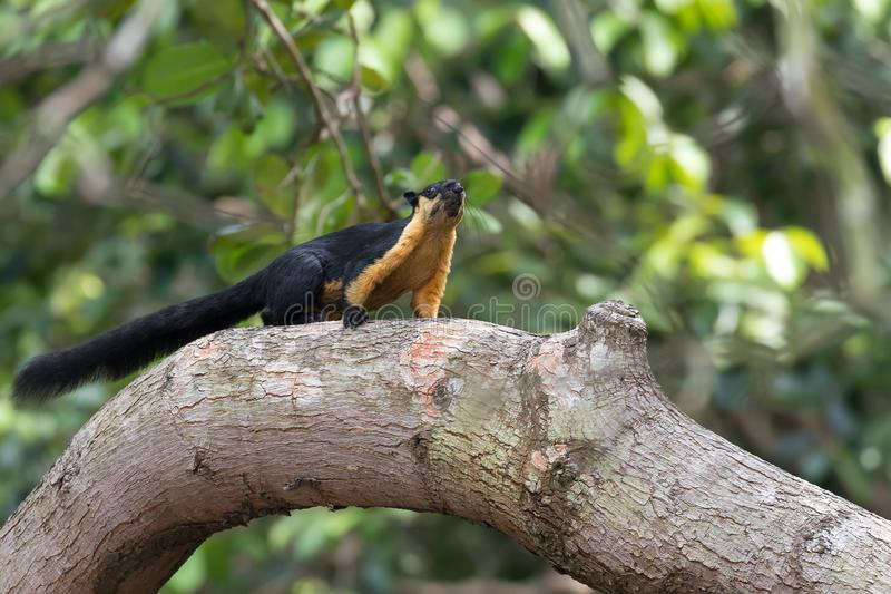 Giant black Squirrel on a branch stock images