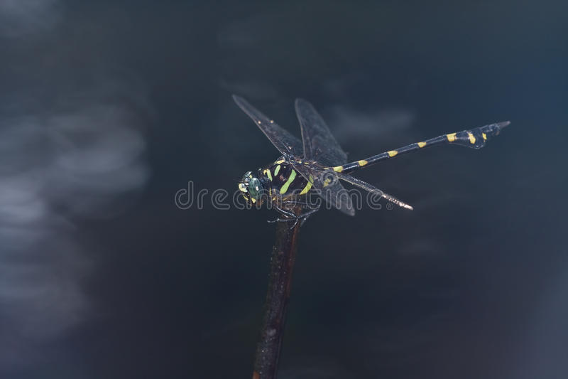 Download A Giant Black And Yellow Dragonfly Stock Photo - Image: 11808814