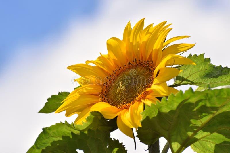 Giant Common Sunflower in Summer stock photo