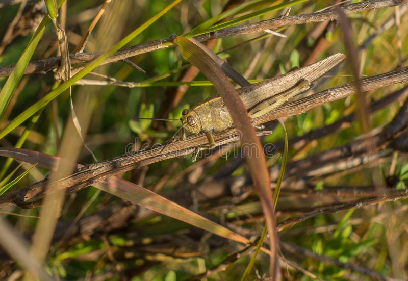 Giant brown Grasshopper vegetation camouflage royalty free stock photo