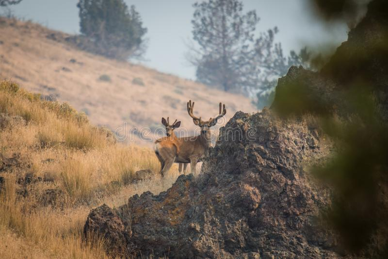 Giant Buck on a Hill royalty free stock photography